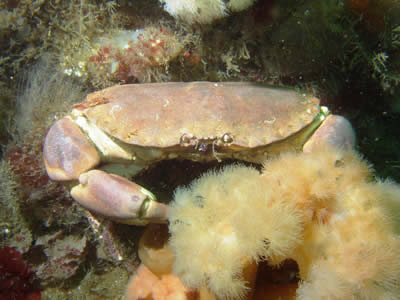 Scottish Creel Fishermen's Federation : Brown Crab
