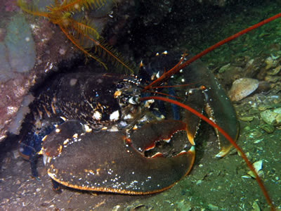 Scottish Creel Fishermen's Federation : Lobster